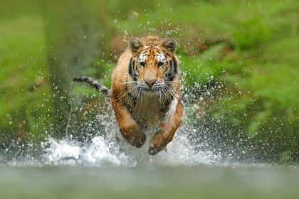 rmda-ss-action-siberian-tiger-in-action.3000.2000